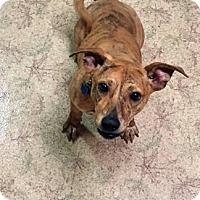 Adopt A Pet :: Sasha - Marion, NC