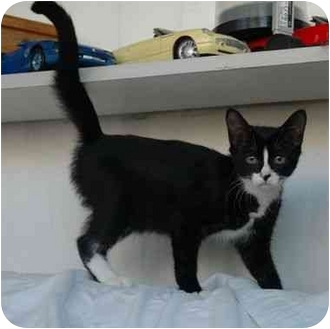 Domestic Shorthair Kitten for adoption in Oakland Park, Florida - Sassy
