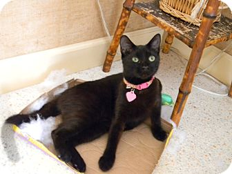 Domestic Shorthair Cat for adoption in Bonita Springs, Florida - BLACKY