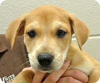 Labrador Retriever/Shepherd (Unknown Type) Mix Puppy for adoption in white settlment, Texas - Maggie