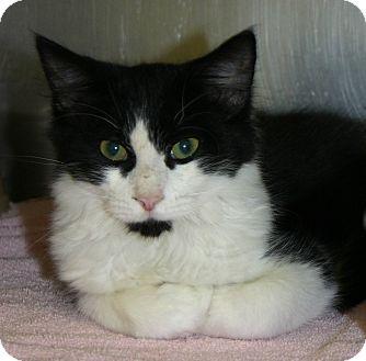 Domestic Shorthair Kitten for adoption in Pinehurst, North Carolina - Rye-grass