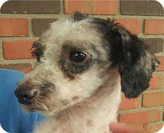 Miniature Poodle/Poodle (Miniature) Mix Dog for adoption in Phoenix, Arizona - Charlene