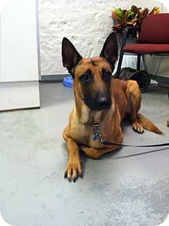 Belgian Malinois Dog for adoption in Fort Riley, Kansas - Bull