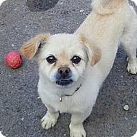 Adopt A Pet :: Vagabond - Vaudreuil-Dorion, QC