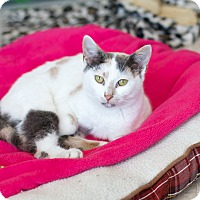 Adopt A Pet :: Creme Brulee - Island Park, NY