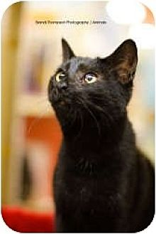 Domestic Shorthair Cat for adoption in McKinney, Texas - Roxy