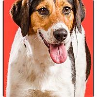 Adopt A Pet :: Cuddles-DRD - Owensboro, KY