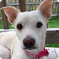 Adopt A Pet :: Uma - Plainfield, IL