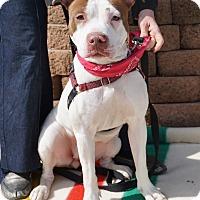 Adopt A Pet :: Plum - Mt Vernon, NY