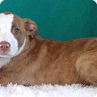 Adopt A Pet :: Kobe - Waldorf, MD