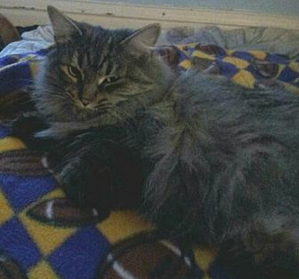 Maine Coon Cat for adoption in Lyons, Illinois - Shadow best friend with Bella!