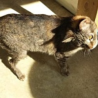 Domestic Shorthair Cat for adoption in Iroquois, Illinois - Harmony