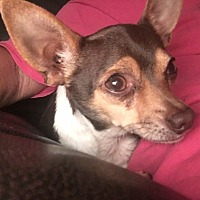 Chihuahua Dog for adoption in Ardmore, Oklahoma - Marley