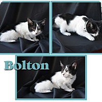 Adopt A Pet :: Bolton - Colorado Springs, CO
