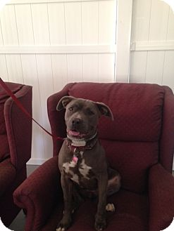 American Pit Bull Terrier/American Staffordshire Terrier Mix Dog for adoption in San Diego, California - Arie