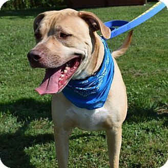 Labrador Retriever/Pit Bull Terrier Mix Dog for adoption in Canastota, New York - Dexter