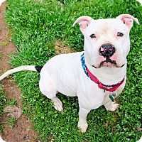 American Staffordshire Terrier Dog for adoption in Petersburg, Virginia - Zeke