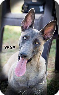 Belgian Malinois Dog for adoption in Patterson, California - Yana