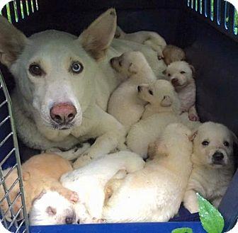 Siberian Husky Mix Dog for adoption in Shingleton, Michigan - Molly ( Mama )