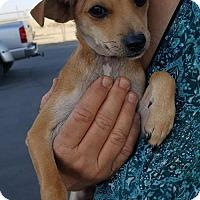 Adopt A Pet :: Bentley a 6 month old puppy - Arlington, WA