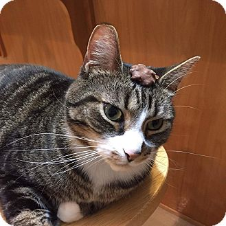 Domestic Shorthair Cat for adoption in Chesapeake, Virginia - Samba