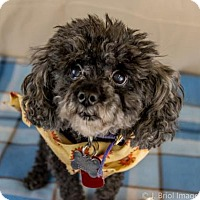 Toy Poodle Mix Dog for adoption in Shakopee, Minnesota - Teddy Bear D3235