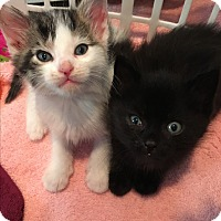 Domestic Shorthair Kitten for adoption in Whitestone, New York - Harley And Davidson