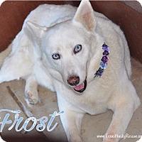 Siberian Husky Dog for adoption in Carrollton, Texas - Frost