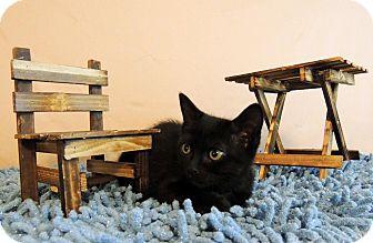 Domestic Shorthair Kitten for adoption in Roanoke, Texas - Pierre