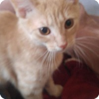 Domestic Shorthair Cat for adoption in Baltimore, Maryland - Moomoo