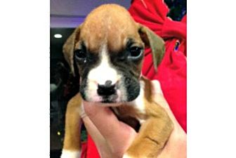 Boxer Puppy for adoption in Hurst, Texas - Peppermint Patty