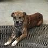 Adopt A Pet :: Zeus - Flintstone, MD