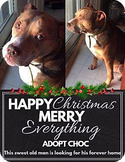 Staffordshire Bull Terrier/Labrador Retriever Mix Dog for adoption in Elgin, Illinois - *Choc