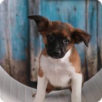 Adopt A Pet :: Prince - Parsippany, NJ