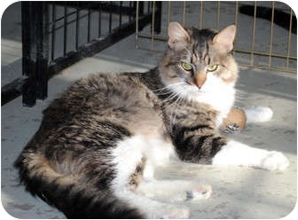Domestic Mediumhair Cat for adoption in Palmdale, California - Gilbert