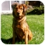 Photo 1 - Shepherd (Unknown Type) Mix Dog for adoption in Petaluma, California - Ginger