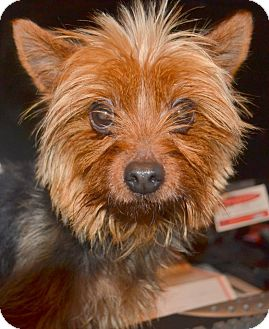 Yorkie, Yorkshire Terrier Dog for adoption in Greensboro, North Carolina - Mickie