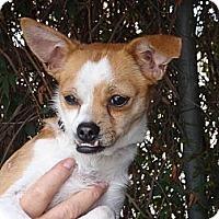 Adopt A Pet :: Olivia - Corona, CA