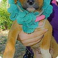 Adopt A Pet :: Ruger fluffy boy - Sacramento, CA