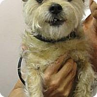Adopt A Pet :: Annie - Chandler, AZ
