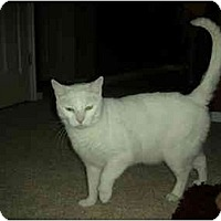 Adopt A Pet :: Snowbell - Washington Terrace, UT