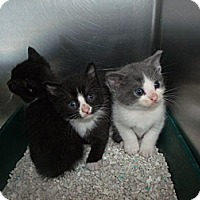 Adopt A Pet :: Cat E005 - Rocky Mount, NC