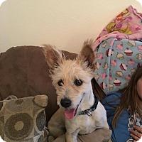 Adopt A Pet :: Andrew - Las Vegas, NV