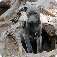 Adopt A Pet :: Choco - Lawrenceville, GA