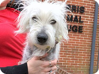 Westie, West Highland White Terrier Mix Dog for adoption in Philadelphia, Pennsylvania - Dexter