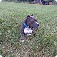 Adopt A Pet :: Sydnie - Newfield, NJ