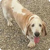 Adopt A Pet :: Bobbie - Cincinnati, OH