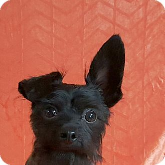 Terrier (Unknown Type, Small) Mix Dog for adoption in Yucaipa, California - Boo