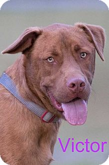 Pit Bull Terrier/Labrador Retriever Mix Dog for adoption in Broken Arrow, Oklahoma - Victor
