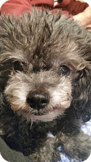 Toy Poodle Mix Dog for adoption in San diego, California - Pepin